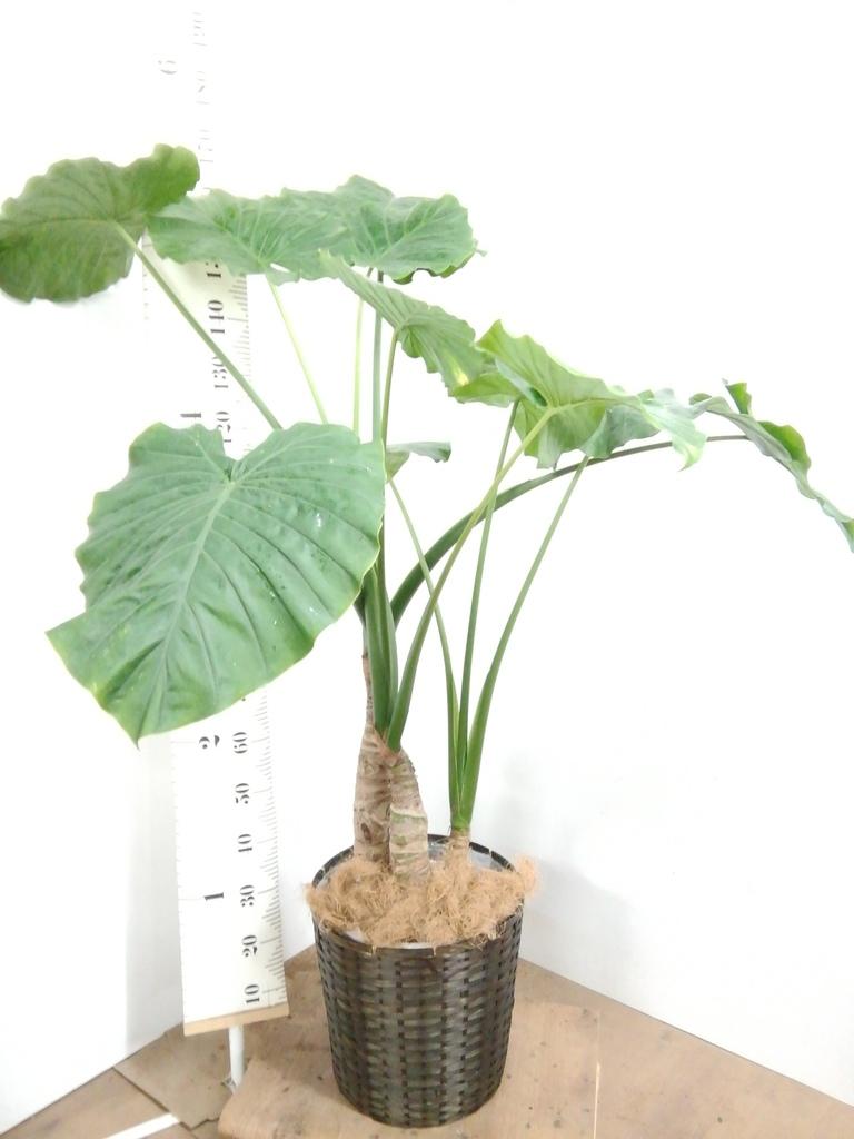 観葉植物 クワズイモ 10号 竹バスケット 付き