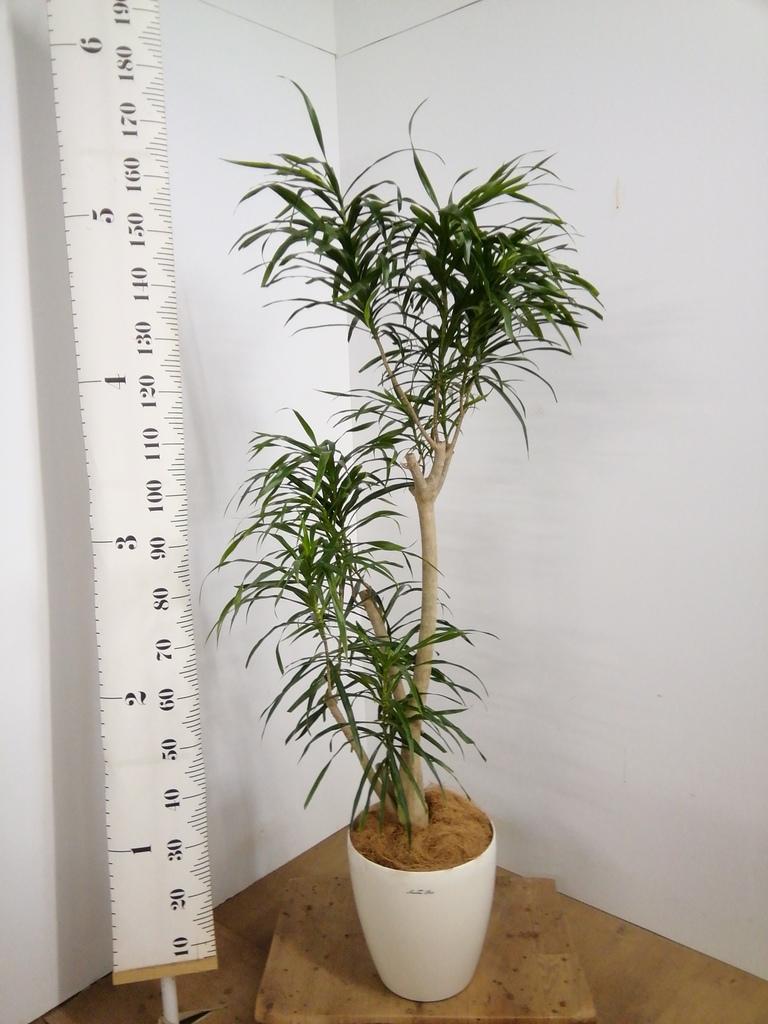 観葉植物 【155cm】【鉢カバー付】ドラセナ アングスティフォリア(リフレクサ) 8号 #22106