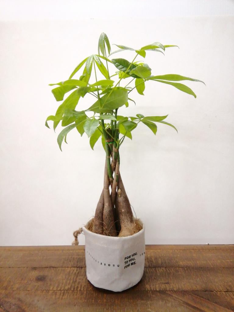 観葉植物 パキラ 4号 ねじり ラップサック 付き