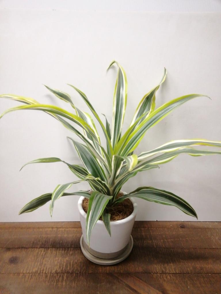 観葉植物 ドラセナ ワーネッキー レモンライム 4号 マット グレーズ テラコッタ ホワイト 付き