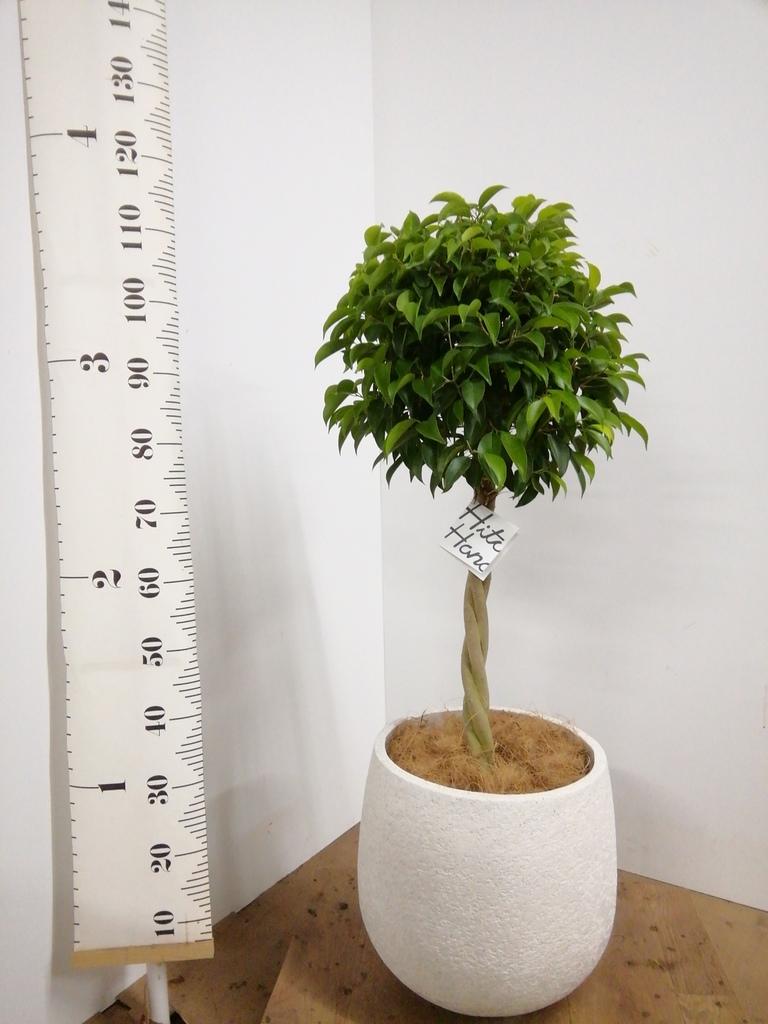 観葉植物 フィカス ベンジャミン 8号 玉造り エコストーンwhite 付き