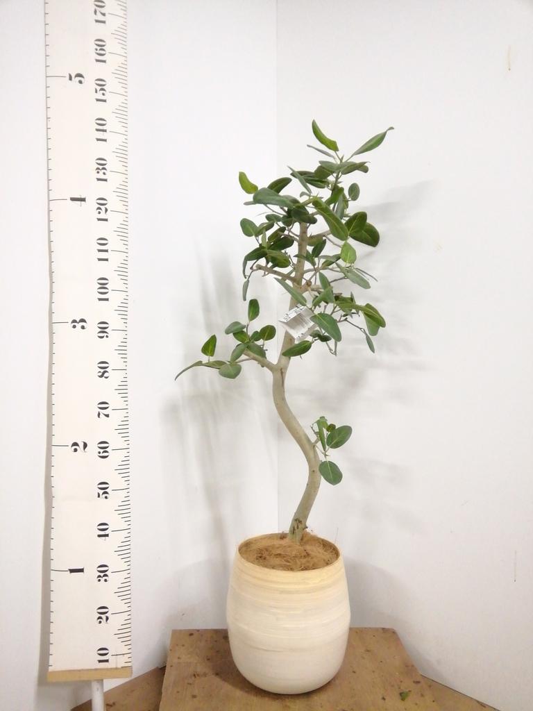 観葉植物 フィカス ベンガレンシス 8号 曲り ササール 白 付き
