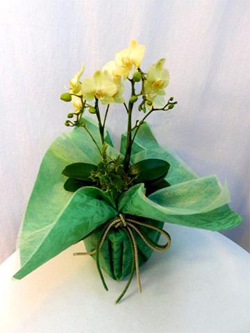 ミディ胡蝶蘭 黄色 2本立ち 観葉寄せ
