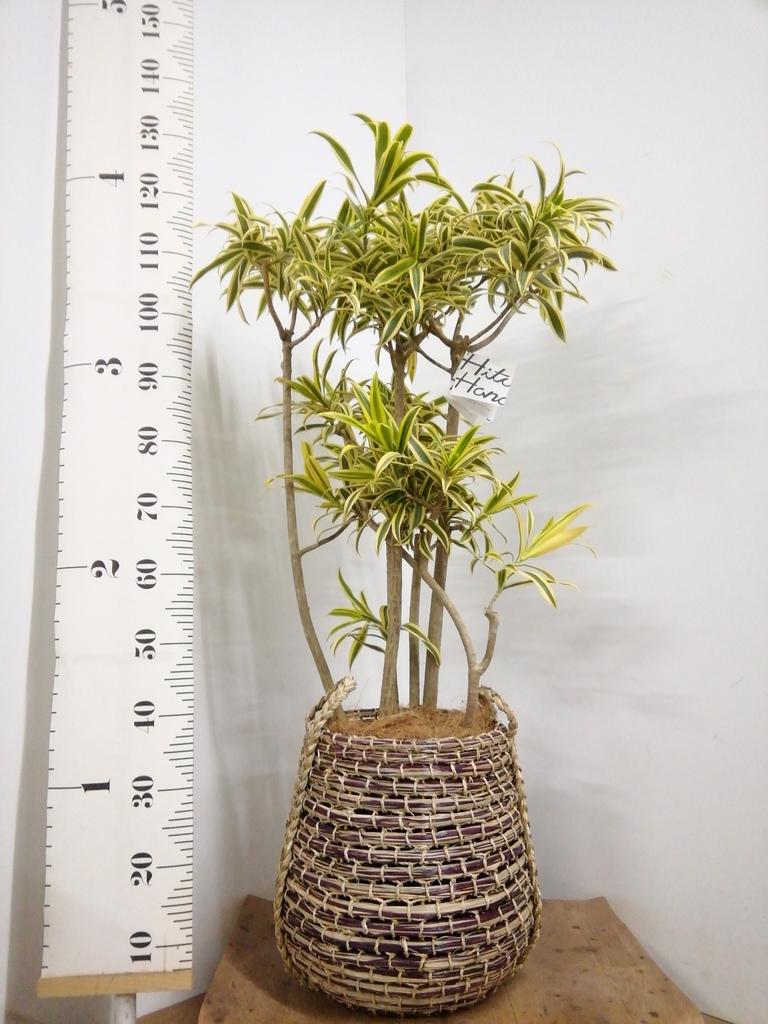 観葉植物 ドラセナ ソング オブ インディア 8号 リゲル 茶 付き