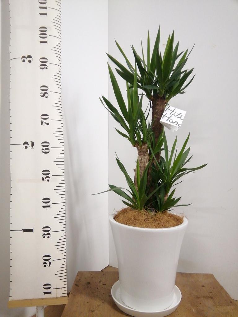 観葉植物 ユッカ 8号 ノーマル サブリナ 白 付き