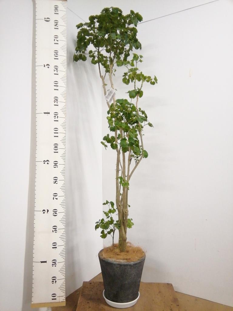 観葉植物 ポリシャス 8号 フォリオソリッド ブラックウォッシュ 付き