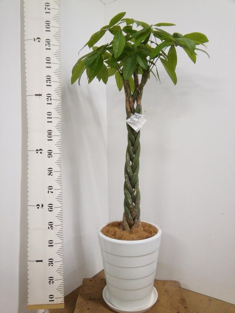 観葉植物 パキラ 10号 ねじり サバトリア 白 付き