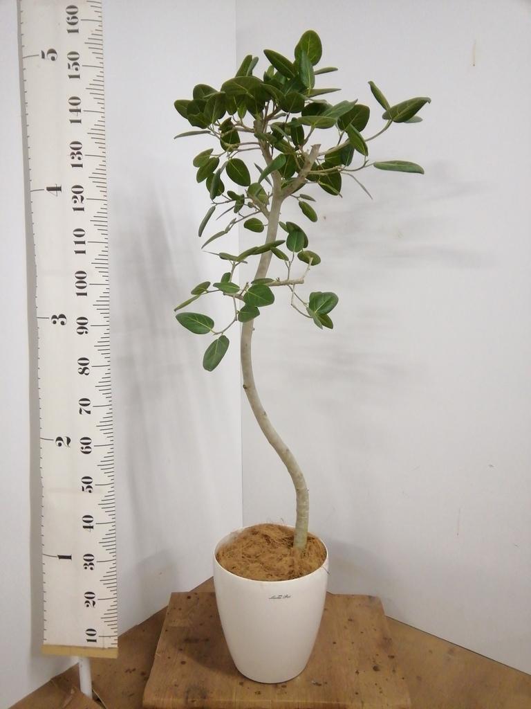 観葉植物 フィカス ベンガレンシス 8号 曲り ラスターポット 付き