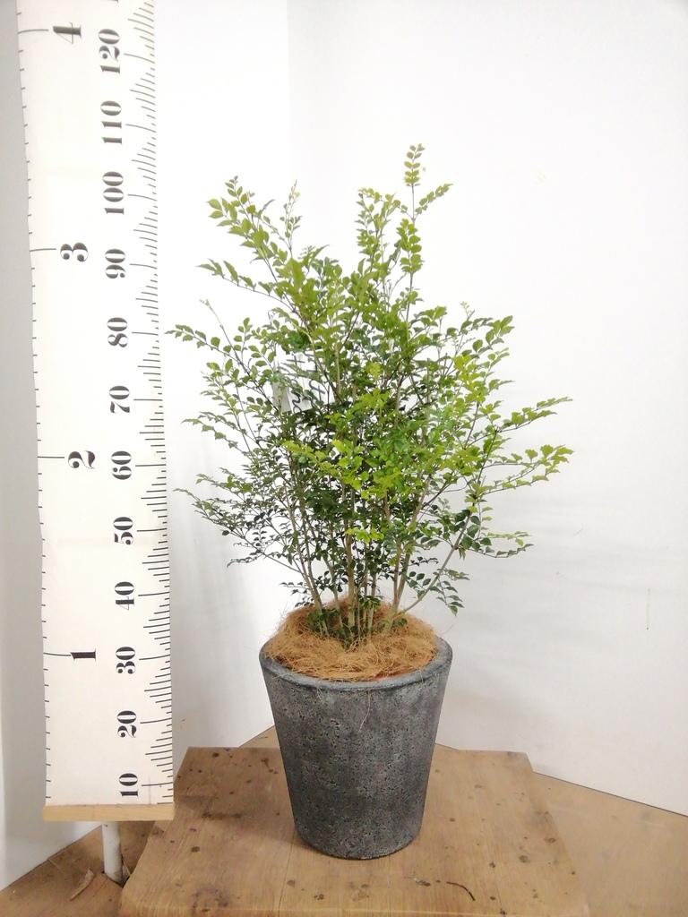 観葉植物 シマトネリコ 8号 フォリオソリッド ブラックウォッシュ 付き