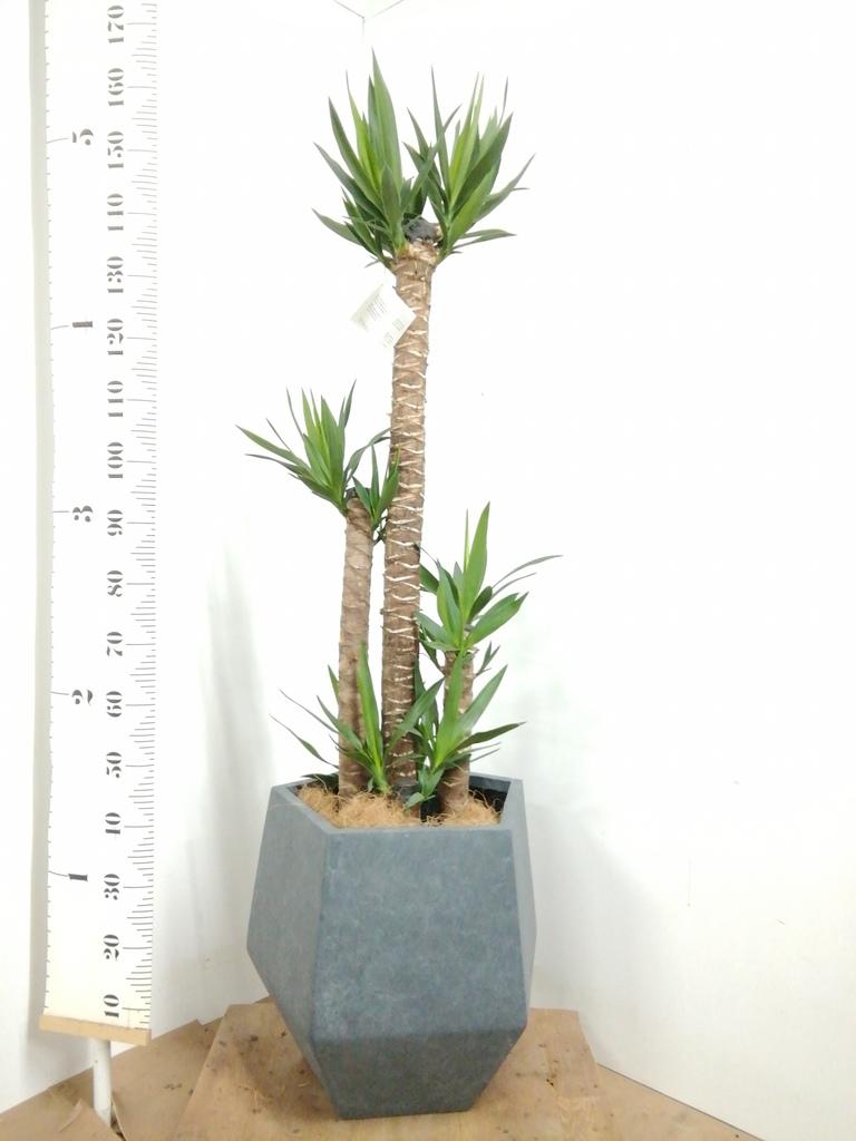 観葉植物 ユッカ 10号 ノーマル ファイバークレイGray 付き