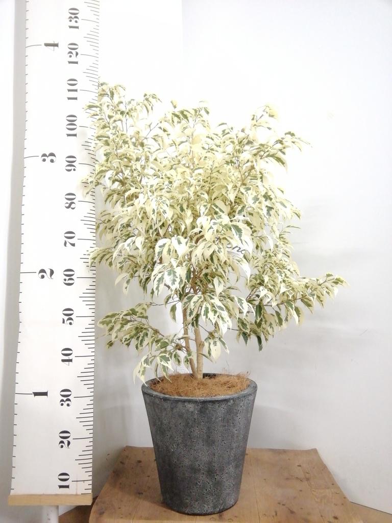 観葉植物 フィカス ベンジャミン 8号 スターライト フォリオソリッド ブラックウォッシュ 付き