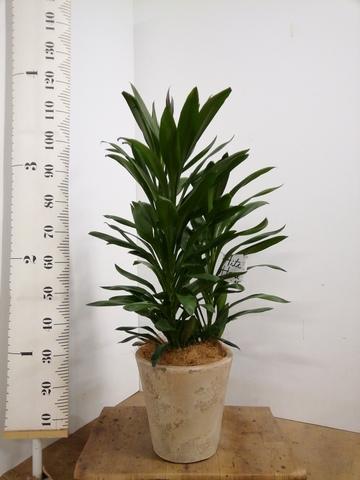 観葉植物 ドラセナ グローカル 8号 ルーガ アンティコ ソリッド 付き