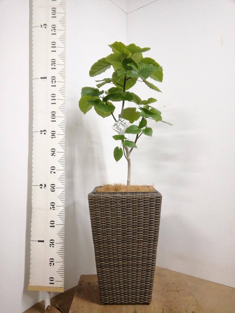 観葉植物 フィカス ウンベラータ 8号 ノーマル ウィッカーポット スクエアロング OT 茶 付き