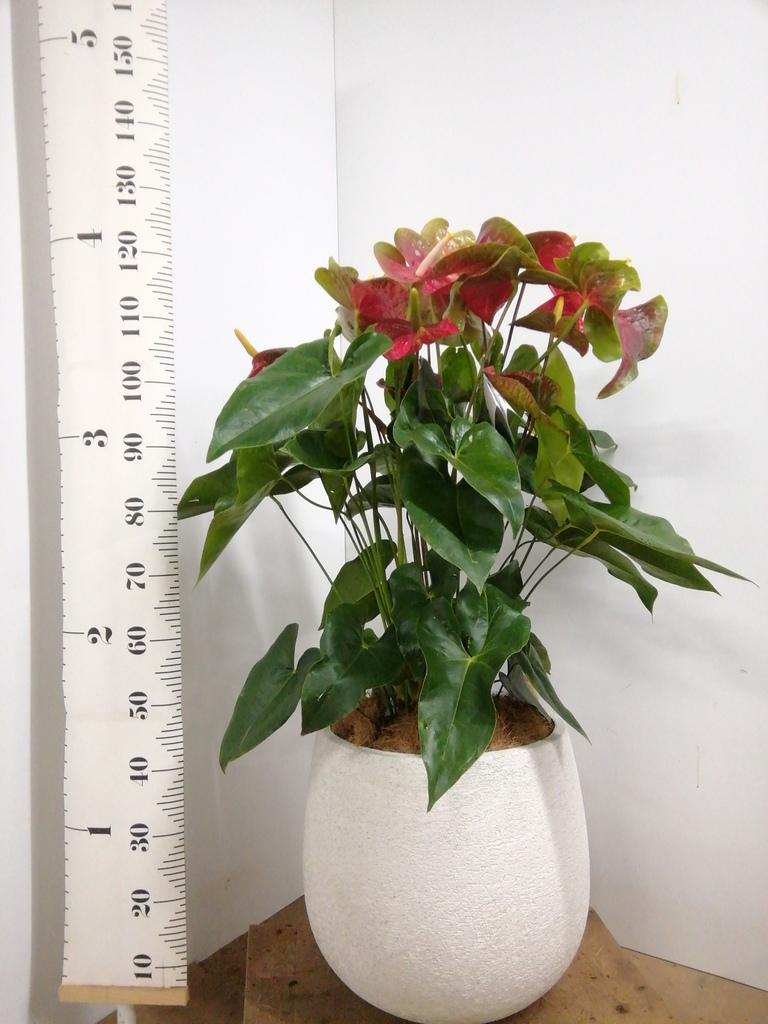 観葉植物 シュロチク(棕櫚竹) 10号 フォリオソリッド 白 付き
