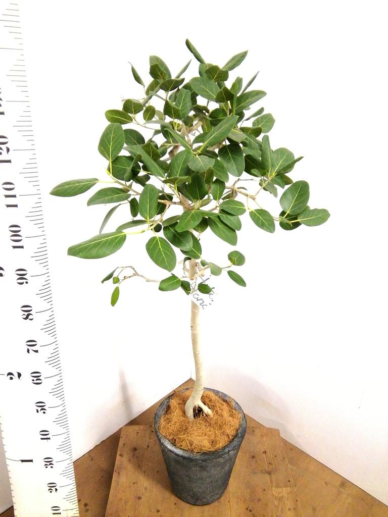観葉植物 フィカス ベンガレンシス 8号 ストレート フォリオソリッド ブラックウォッシュ 付き