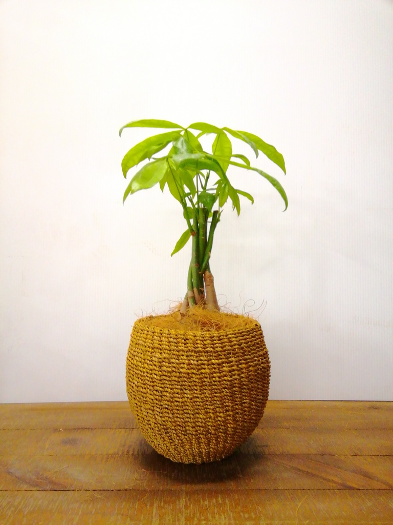観葉植物 パキラ 4号 ねじり アバカバスケット タン 付き