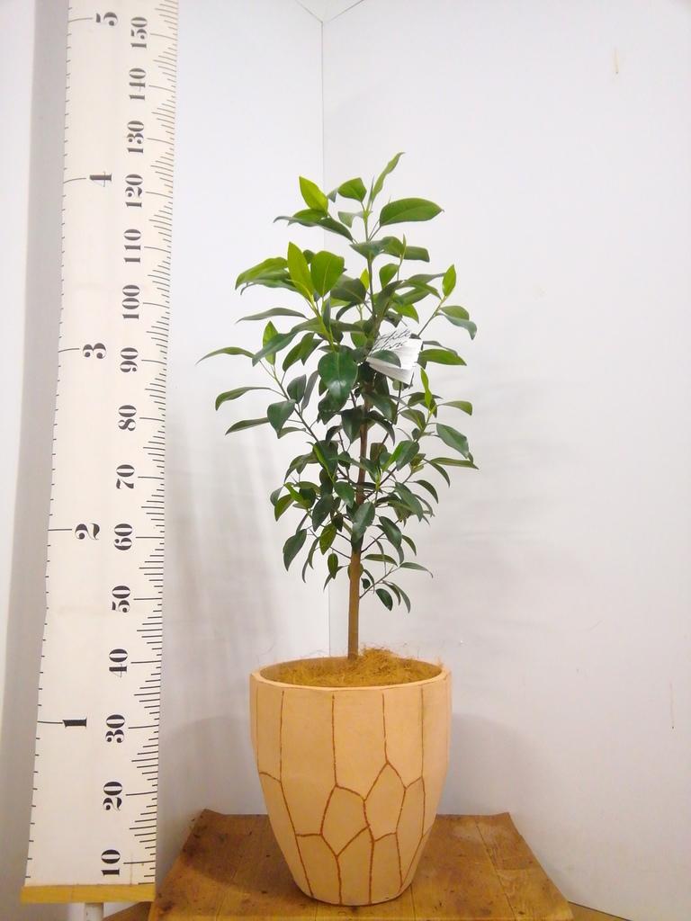 観葉植物 フランスゴムの木 8号 ノーマル ウィスク 付き