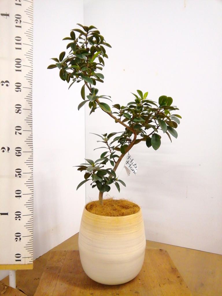 観葉植物 フランスゴムの木 8号 曲り ササール 白 付き