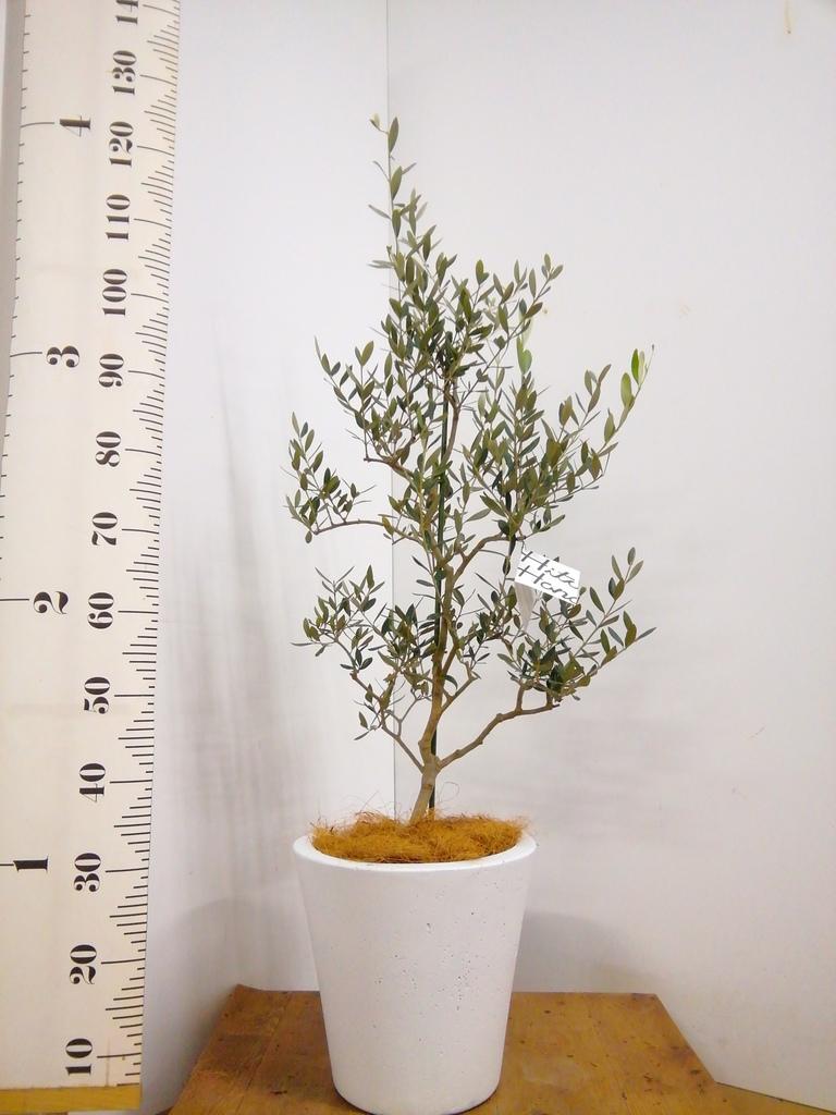 観葉植物 オリーブの木 8号 コレッジョラ フォリオソリッド 白 付き