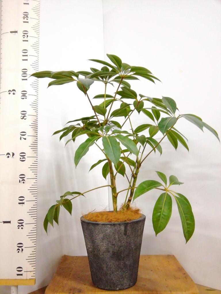 観葉植物 ツピダンサス 8号 ボサ造り フォリオソリッド ブラックウォッシュ 付き