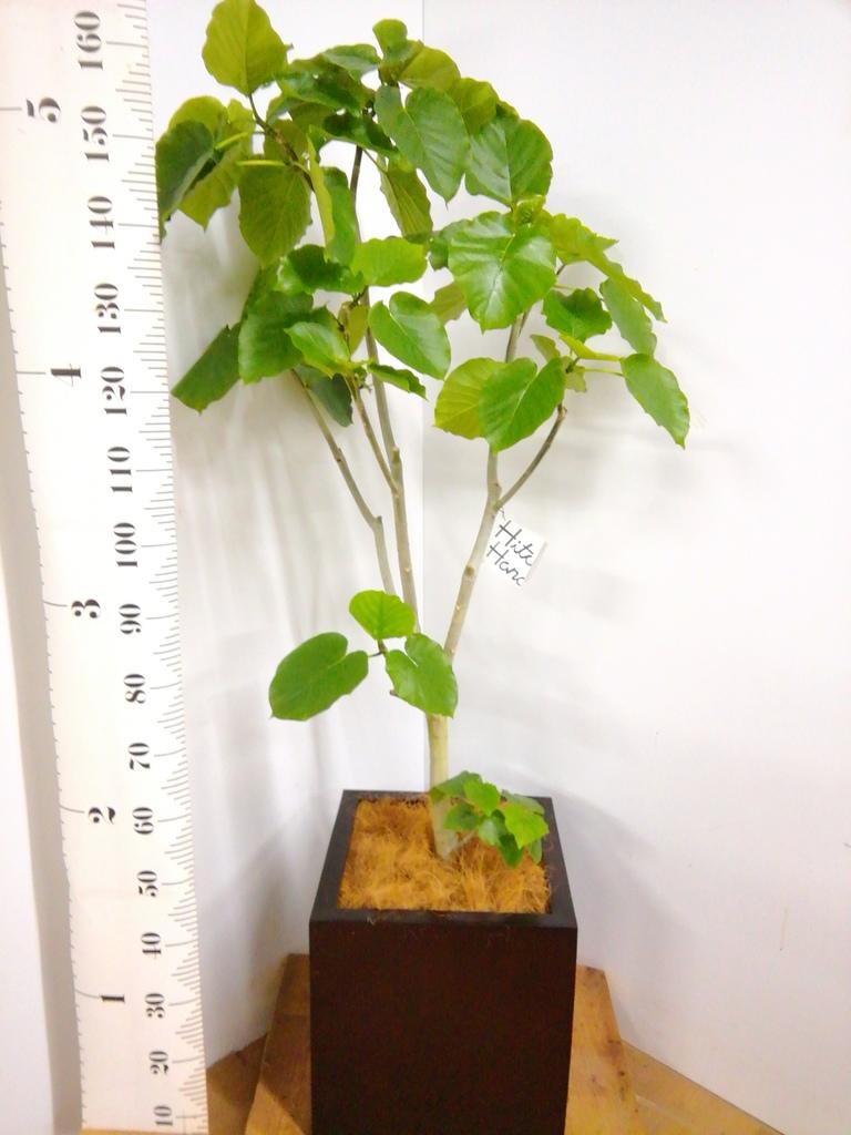 観葉植物 フィカス ウンベラータ 10号 ノーマル MOKU キューブ 付き