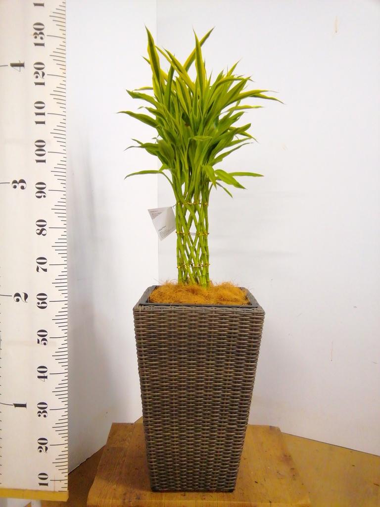 観葉植物 ドラセナ ミリオンバンブー(幸運の竹) 8号 ウィッカーポット スクエアロング OT 茶 付き