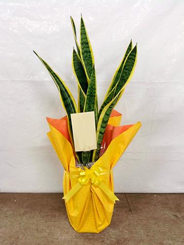 観葉植物 サンスベリア 6号 トラノオ 角高陶器