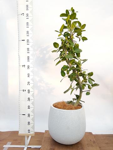 観葉植物 フィカス ベンガレンシス 10号 曲り エコストーンwhite 付き
