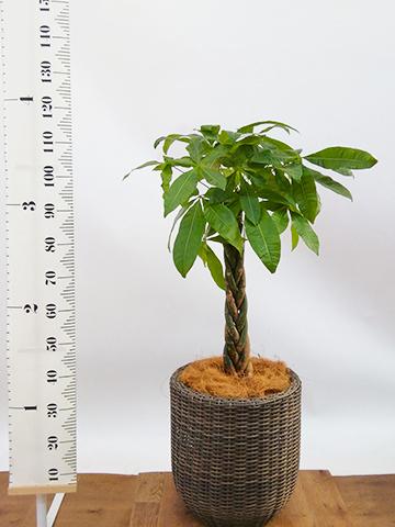 観葉植物 パキラ 8号 ねじり ウィッカーポット エッグ NT 茶 付き