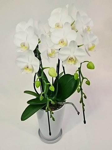 ミディ胡蝶蘭 アマビリス 2本立ち サンクスポット