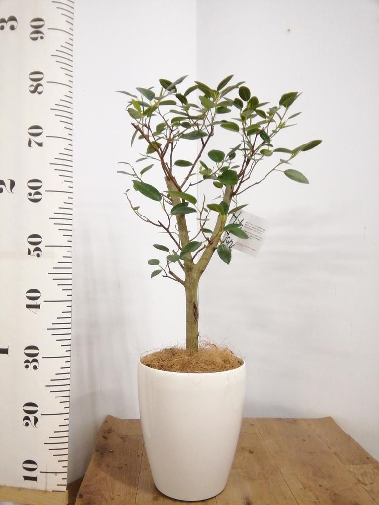 観葉植物 【80cm】 パンダガジュマル 6号 #22915