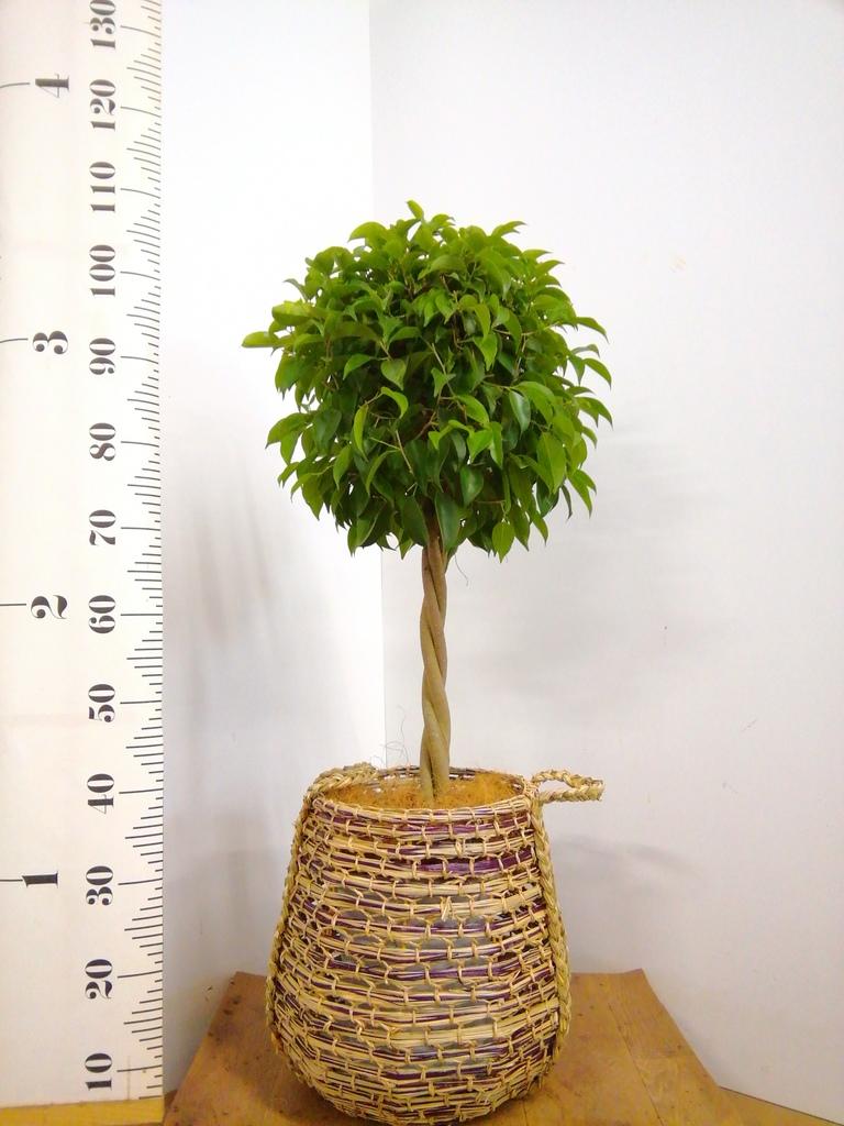 観葉植物 フィカス ベンジャミン 8号 玉造り リゲル 茶 付き
