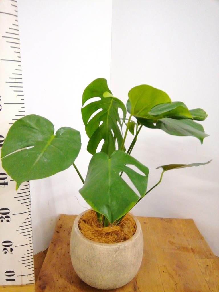 観葉植物 モンステラ 6号 ボサ造り フリットバルーンアンティーククリーム 付き