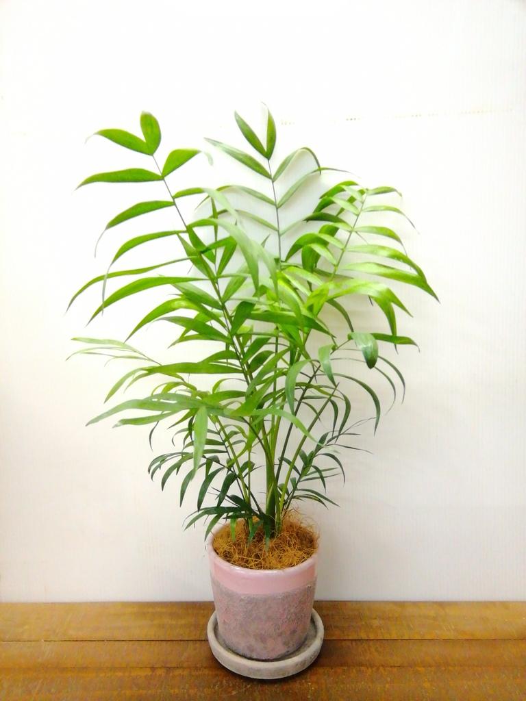 観葉植物 テーブルヤシ 4号 ハレー ピンク 付き