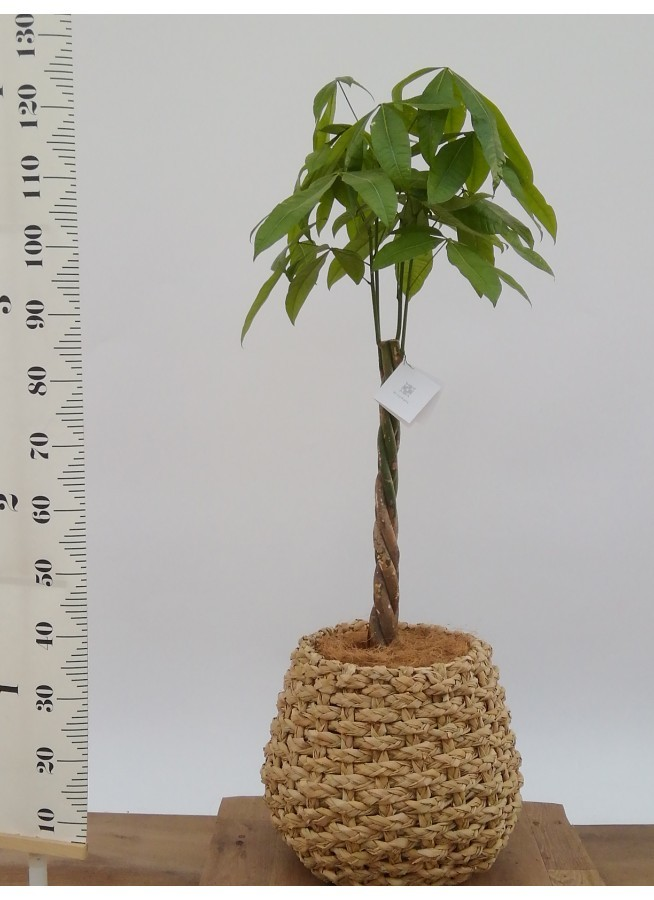 観葉植物 パキラ 8号 ねじり ラッシュバスケット Natural 付き