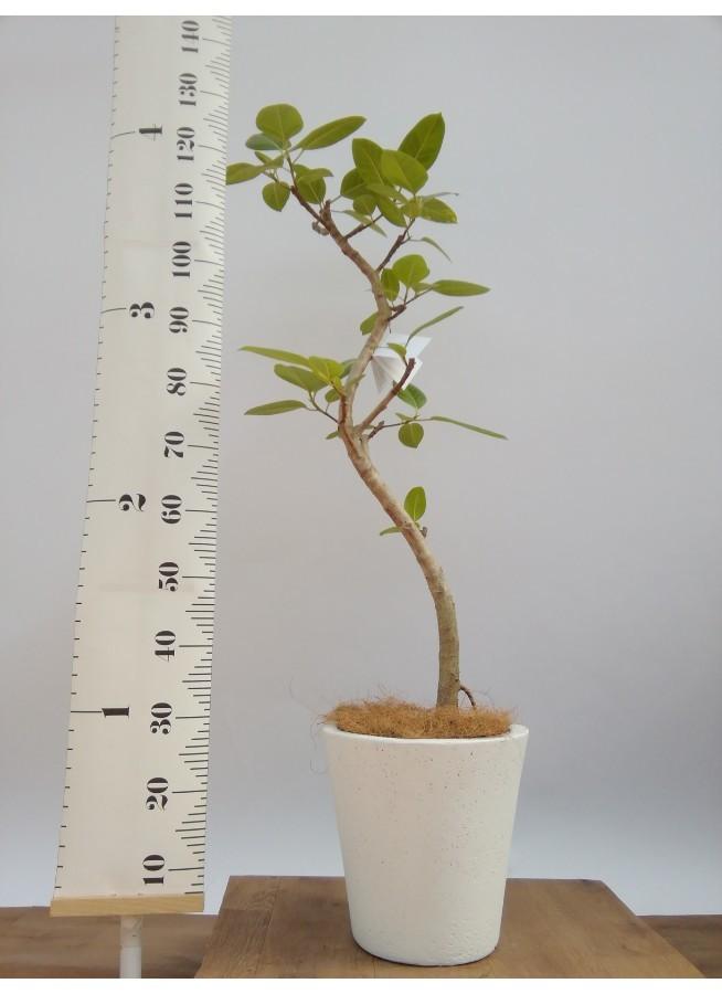 観葉植物 フィカス アルテシーマ 8号 曲り フォリオソリッド 白 付き