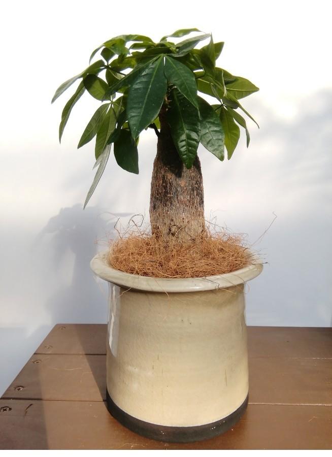 観葉植物 パキラ 4号 朴 アンティークテラコッタ グレイ 付き