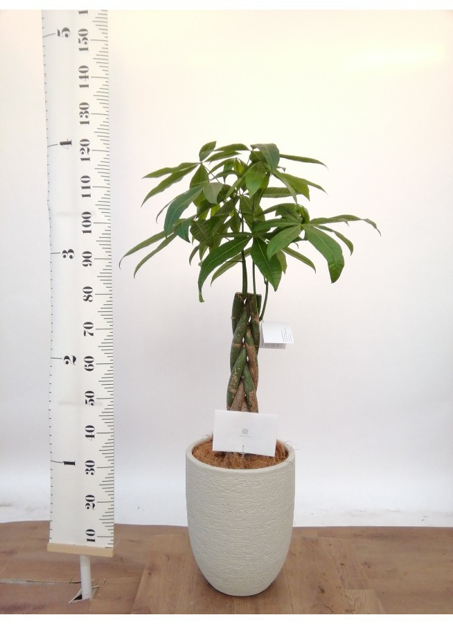 観葉植物 パキラ 8号 ねじり ビアスアルトエッグ 白 付き