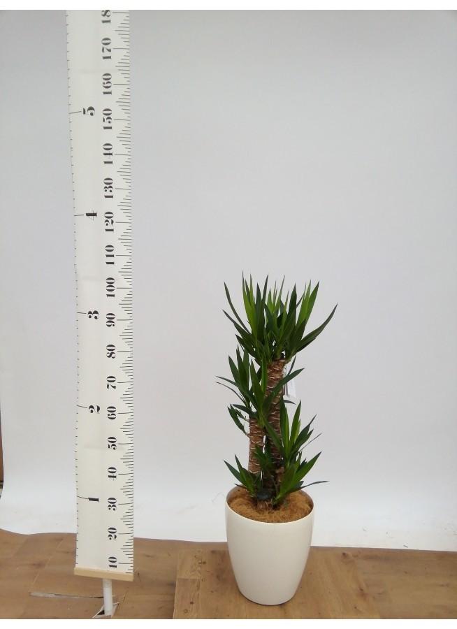 観葉植物 ユッカ 8号 ノーマル ラスターポット 付き