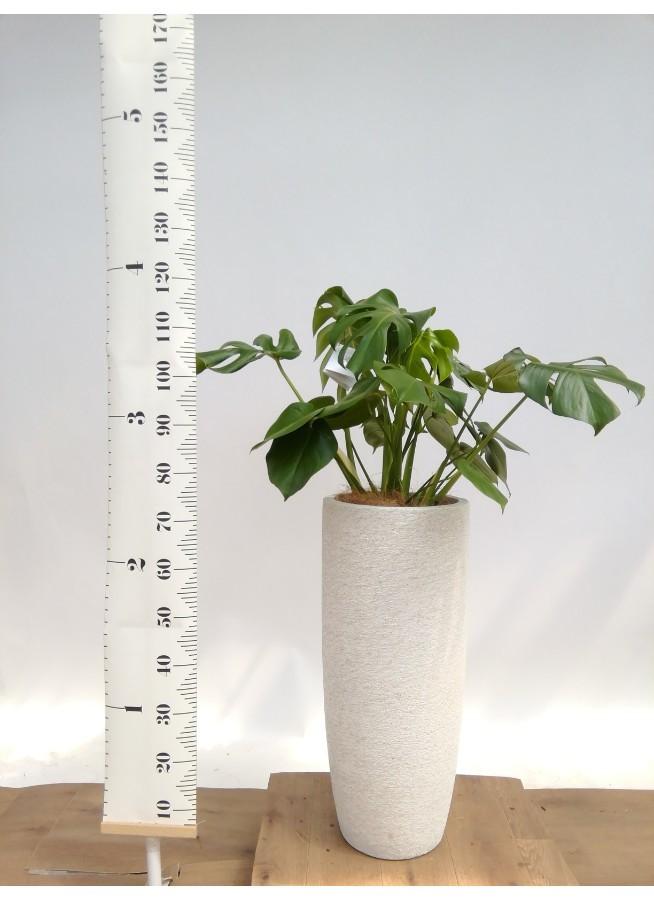 観葉植物 モンステラ 8号 ボサ造り エコストーントールタイプ white 付き