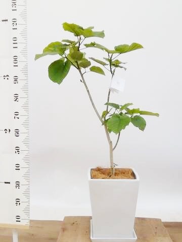 観葉植物 フィカス ウンベラータ 8号 ノーマル LO スクエア 付き