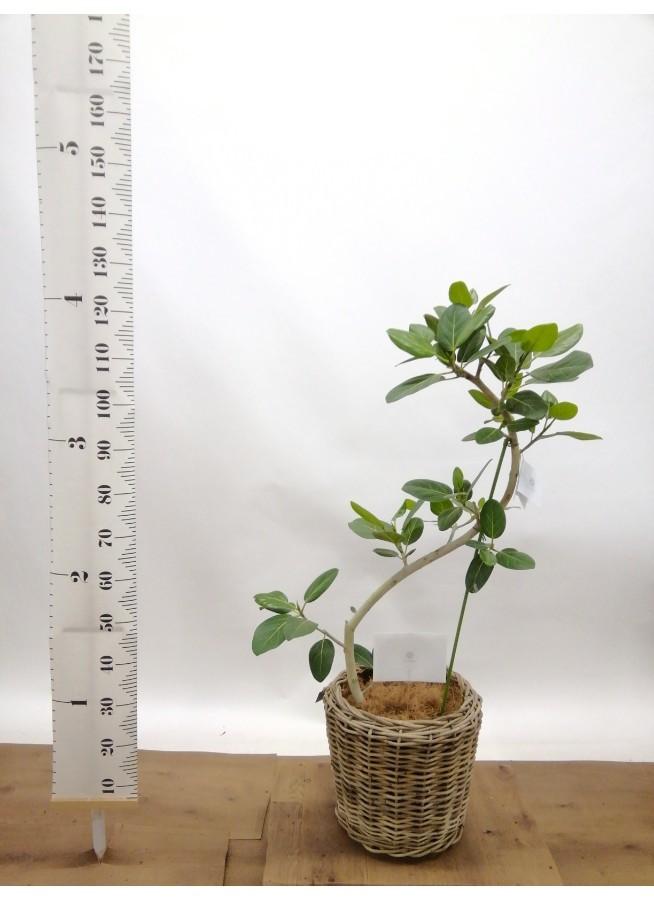 観葉植物 フィカス ベンガレンシス 8号 曲り モデリック ラタン 付き
