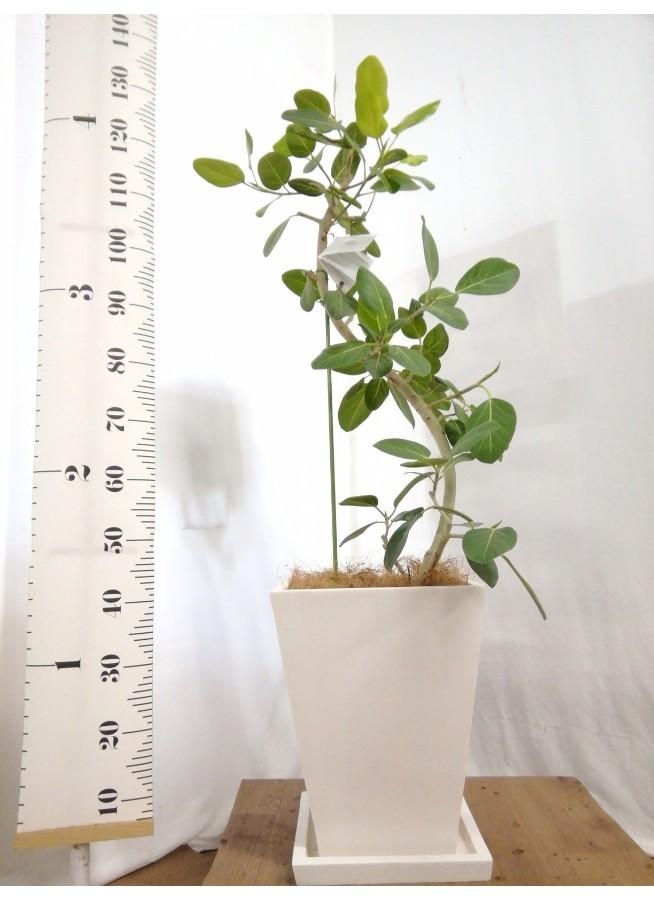 観葉植物 フィカス ベンガレンシス 8号 曲り パウダーストーン 白 付き