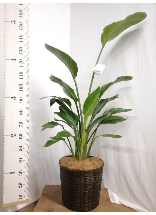 観葉植物 オーガスタ 10号 竹バスケット 付き