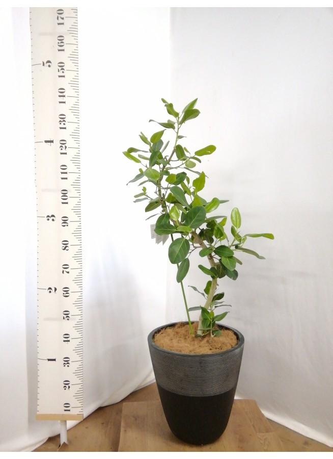 観葉植物 フィカス ベンガレンシス 8号 曲り ジュピター 黒 付き