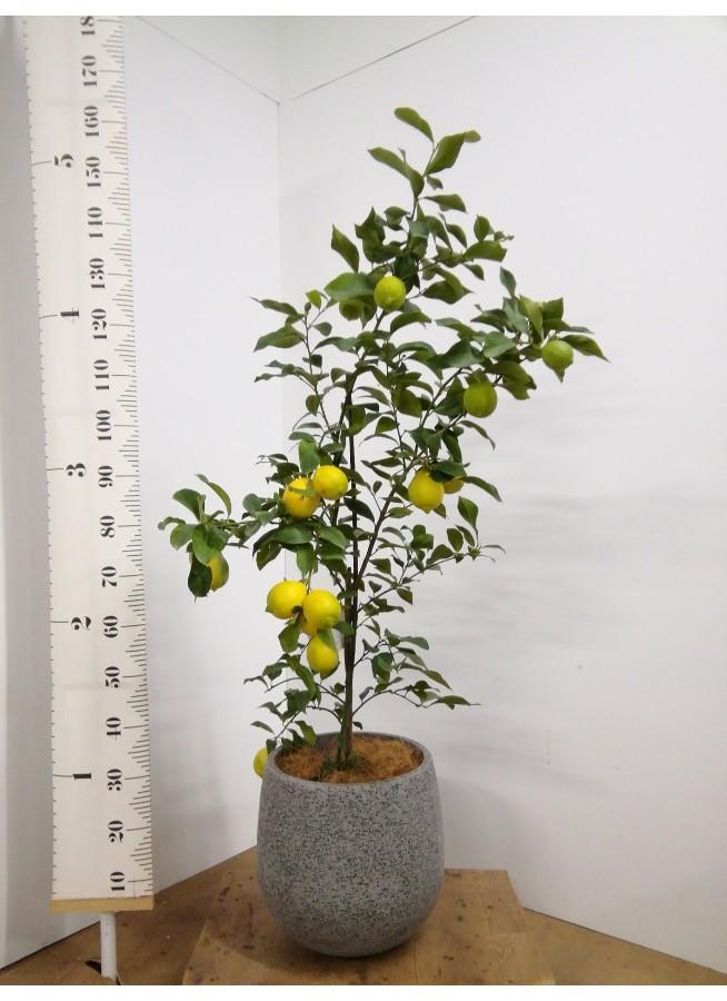 レモンの木 8号 リスボン エコストーンGray 付き