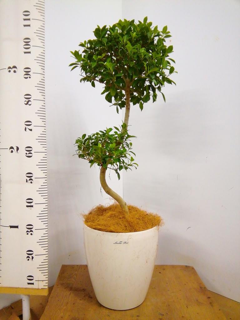 観葉植物 【100cm】 ガジュマル 8号 #23035