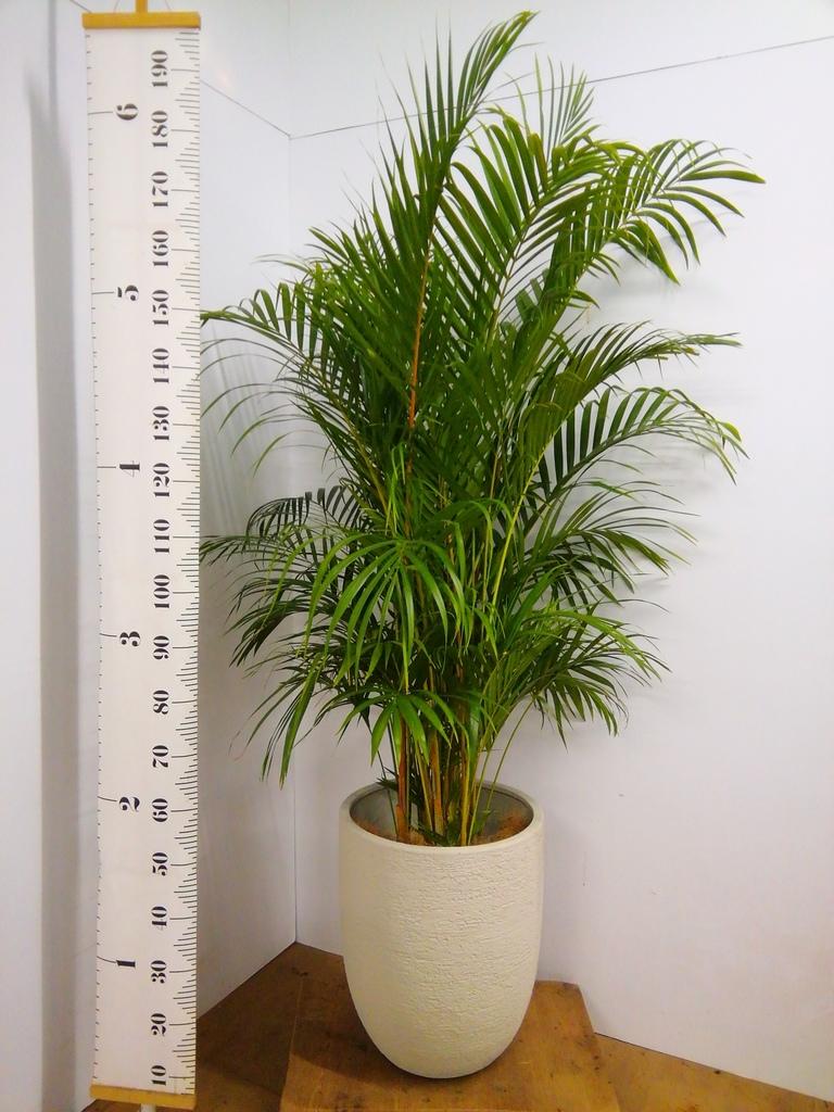 観葉植物 アレカヤシ 10号 ビアスアルトエッグ 白 付き