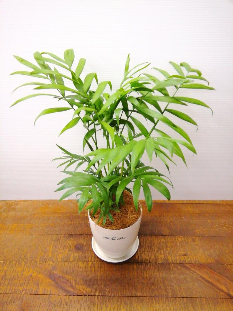 観葉植物 テーブルヤシ 4号 ラスターポット 付き