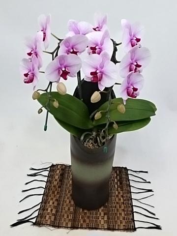 胡蝶蘭中大輪 サクラヒメ 2本立ち 和鉢かぐや